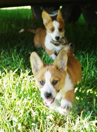 Walnut Creek Cardigan Welsh Corgi pup available Maryville, Seymour, Gatlinburg, Pigeon Forge Tennessee.