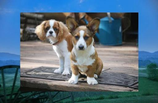 Walnut Creek Cardigan Welsh Corgis 1's w/the Tail & Allevato Cavalier King Charles Spaniels Tennesse 37804, USA...